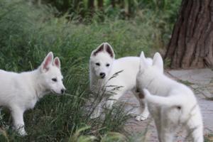 White-Swiss-Shepherd-Puppies-BTWWLPups-130619-0106