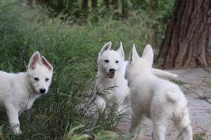 White-Swiss-Shepherd-Puppies-BTWWLPups-130619-0107