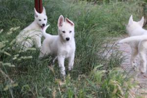 White-Swiss-Shepherd-Puppies-BTWWLPups-130619-0109