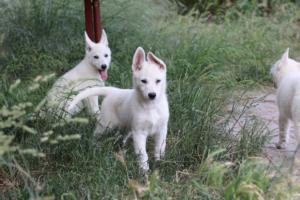 White-Swiss-Shepherd-Puppies-BTWWLPups-130619-0110