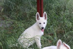 White-Swiss-Shepherd-Puppies-BTWWLPups-130619-0112
