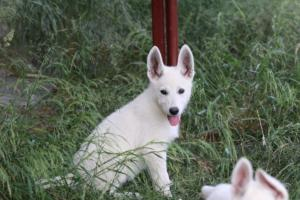 White-Swiss-Shepherd-Puppies-BTWWLPups-130619-0113