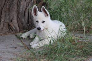 White-Swiss-Shepherd-Puppies-BTWWLPups-130619-0114