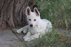White-Swiss-Shepherd-Puppies-BTWWLPups-130619-0115