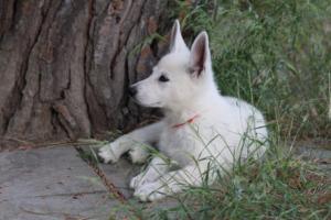 White-Swiss-Shepherd-Puppies-BTWWLPups-130619-0116
