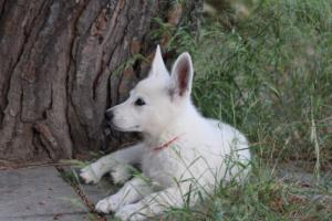 White-Swiss-Shepherd-Puppies-BTWWLPups-130619-0117