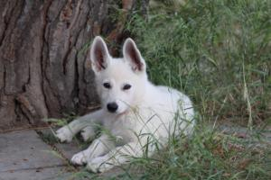 White-Swiss-Shepherd-Puppies-BTWWLPups-130619-0118