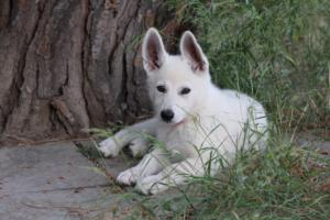 White-Swiss-Shepherd-Puppies-BTWWLPups-130619-0119