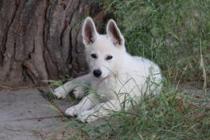 White-Swiss-Shepherd-Puppies-BTWWLPups-130619-0120