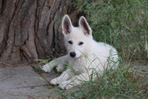 White-Swiss-Shepherd-Puppies-BTWWLPups-130619-0121