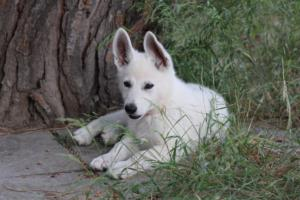 White-Swiss-Shepherd-Puppies-BTWWLPups-130619-0122