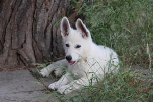 White-Swiss-Shepherd-Puppies-BTWWLPups-130619-0123