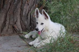 White-Swiss-Shepherd-Puppies-BTWWLPups-130619-0124