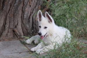 White-Swiss-Shepherd-Puppies-BTWWLPups-130619-0125