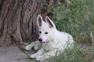 White-Swiss-Shepherd-Puppies-BTWWLPups-130619-0126