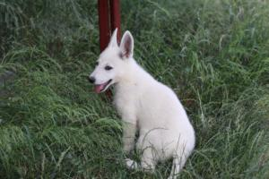 White-Swiss-Shepherd-Puppies-BTWWLPups-130619-0127