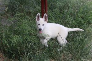 White-Swiss-Shepherd-Puppies-BTWWLPups-130619-0128