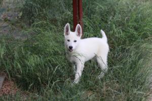 White-Swiss-Shepherd-Puppies-BTWWLPups-130619-0129