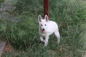 White-Swiss-Shepherd-Puppies-BTWWLPups-130619-0130