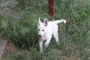 White-Swiss-Shepherd-Puppies-BTWWLPups-130619-0131