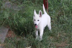 White-Swiss-Shepherd-Puppies-BTWWLPups-130619-0132
