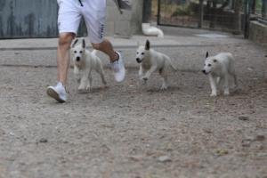 White-Swiss-Shepherd-Puppies-BTWWLPups-290619-0001