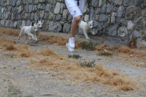 White-Swiss-Shepherd-Puppies-BTWWLPups-290619-0002