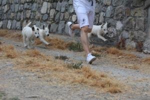 White-Swiss-Shepherd-Puppies-BTWWLPups-290619-0003