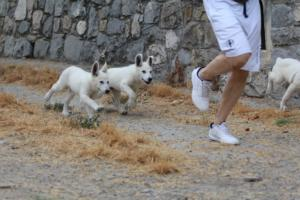 White-Swiss-Shepherd-Puppies-BTWWLPups-290619-0004