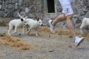 White-Swiss-Shepherd-Puppies-BTWWLPups-290619-0005