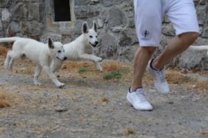 White-Swiss-Shepherd-Puppies-BTWWLPups-290619-0006