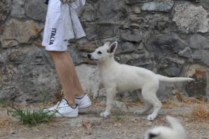White-Swiss-Shepherd-Puppies-BTWWLPups-290619-0009