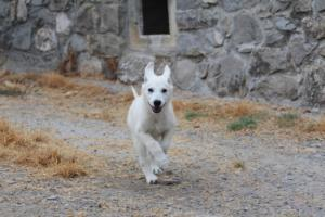 White-Swiss-Shepherd-Puppies-BTWWLPups-290619-0011