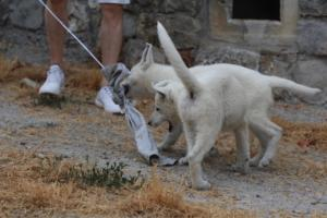 White-Swiss-Shepherd-Puppies-BTWWLPups-290619-0012