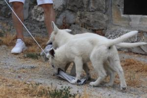 White-Swiss-Shepherd-Puppies-BTWWLPups-290619-0013