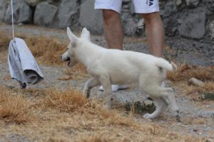White-Swiss-Shepherd-Puppies-BTWWLPups-290619-0014