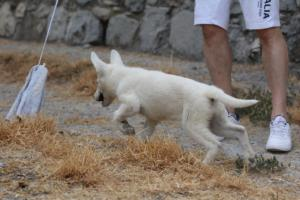 White-Swiss-Shepherd-Puppies-BTWWLPups-290619-0015