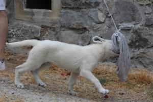 White-Swiss-Shepherd-Puppies-BTWWLPups-290619-0016