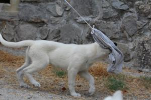 White-Swiss-Shepherd-Puppies-BTWWLPups-290619-0017