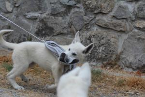 White-Swiss-Shepherd-Puppies-BTWWLPups-290619-0018