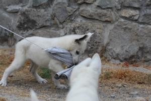 White-Swiss-Shepherd-Puppies-BTWWLPups-290619-0019