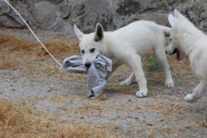 White-Swiss-Shepherd-Puppies-BTWWLPups-290619-0020