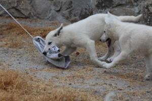 White-Swiss-Shepherd-Puppies-BTWWLPups-290619-0021
