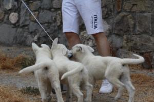 White-Swiss-Shepherd-Puppies-BTWWLPups-290619-0025
