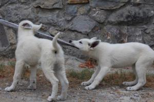 White-Swiss-Shepherd-Puppies-BTWWLPups-290619-0028