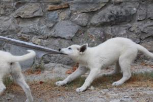 White-Swiss-Shepherd-Puppies-BTWWLPups-290619-0029