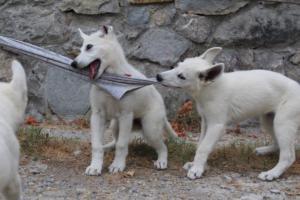 White-Swiss-Shepherd-Puppies-BTWWLPups-290619-0030