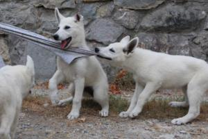 White-Swiss-Shepherd-Puppies-BTWWLPups-290619-0031