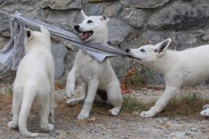 White-Swiss-Shepherd-Puppies-BTWWLPups-290619-0032