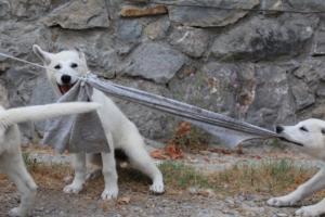 White-Swiss-Shepherd-Puppies-BTWWLPups-290619-0033
